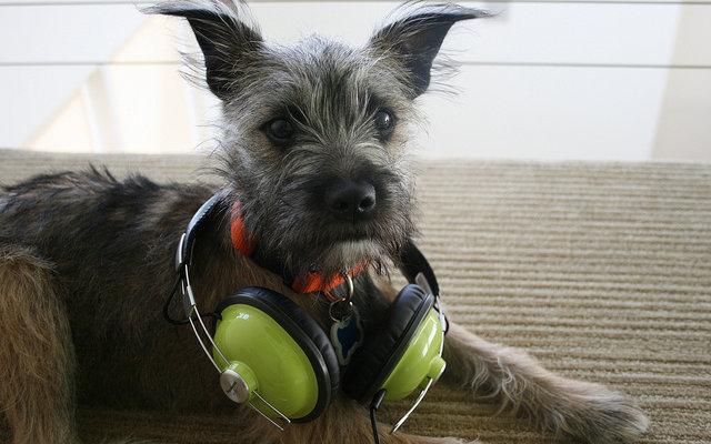Puppy wearing headphones